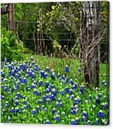 Fenced In Bluebonnets Canvas Print