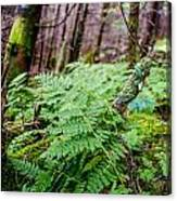 Fern In Forest Canvas Print