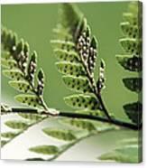 Fern Seeds Canvas Print