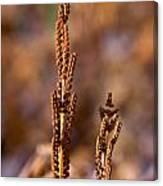 Fern Spore Stalk In Morning Sun Canvas Print
