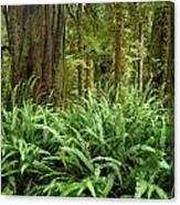 1a2912-ferns In Rain Forest Canada  Canvas Print