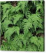 D3b6333-ferns In Sonoma 2  Canvas Print