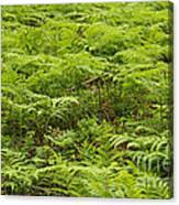 Ferns In Summer Canvas Print