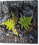 Ferns In Volcanic Rock Canvas Print