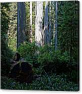 Ferns Of The Redwood Forest Canvas Print