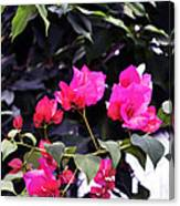 Fernwood Botanical Garden Bougainvillea Niles Michigan Usa Canvas Print