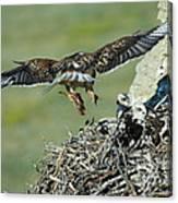 Ferruginous Hawk Bringing Food To Young Canvas Print