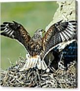 Ferruginous Hawk Male At Nest Canvas Print