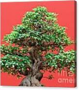 Ficus Bonsai Canvas Print