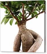 Ficus Ginseng Canvas Print