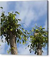 Ficus Leaves Against The Sky Canvas Print
