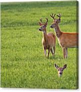 Field Deer Canvas Print