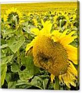 Field Of Blooming Yellow Sunflowers To Horizon Canvas Print