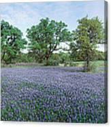 Field Of Bluebonnet Flowers, Texas, Usa Canvas Print