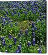 Field Of Bluebonnets Canvas Print