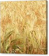 Field Of Gold - 3 Canvas Print