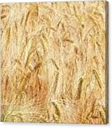 Field Of Gold - 4 Canvas Print