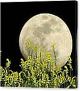 Field Of Gold By Moonlight Canvas Print