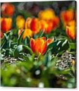 Field Of Orange Tulips Canvas Print