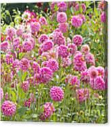 Field Of Pink Dahlias Canvas Print