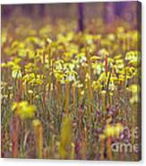 Field Of Pitcher Plants Canvas Print