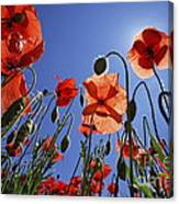 Field Of Poppies At Spring Canvas Print