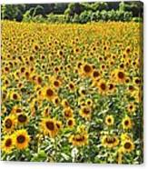 Field Of Smiles Canvas Print