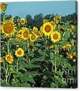 Field Of Smiley Faces Canvas Print