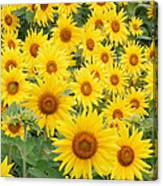 Field Of Sunflowers Helianthus Sp Canvas Print