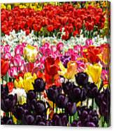 Field Of Tulips Ll Canvas Print