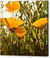 Field Of Yellow Poppies Canvas Print