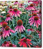 Fields Of Coneflower Canvas Print