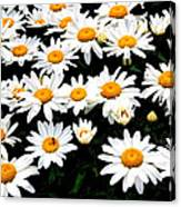 Fields Of Daisies Canvas Print