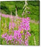 Fields Of Fireweed Canvas Print