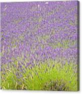 Fields Of Lavender Canvas Print