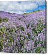 Fields Of Lupine 3 Canvas Print