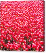 Fields Of Tulips Alkmaar Vicinity Canvas Print