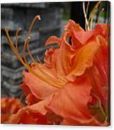 Fiery Orange Azalea  Canvas Print