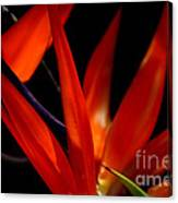 Fiery Red Bird Of Paradise Canvas Print