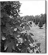 Fig Tree Canvas Print