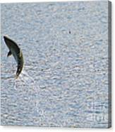 Fighting Chinook Salmon Canvas Print