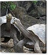 Fighting Galapagos Giant Tortoises Canvas Print