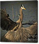 Fighting Great Blue Herons Canvas Print