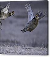 Fighting Prairie Chickens Canvas Print