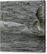 Fighting Swans Canvas Print