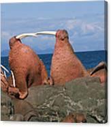 Fighting Walrus Canvas Print