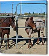 Fillies At The Gate Canvas Print