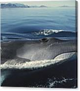 Fin Whale In Sea Of Cortez Canvas Print