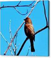 Finch On Branch 031015a Canvas Print