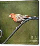 Finch On Guard I Canvas Print